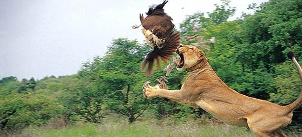 34c Lion eating bird