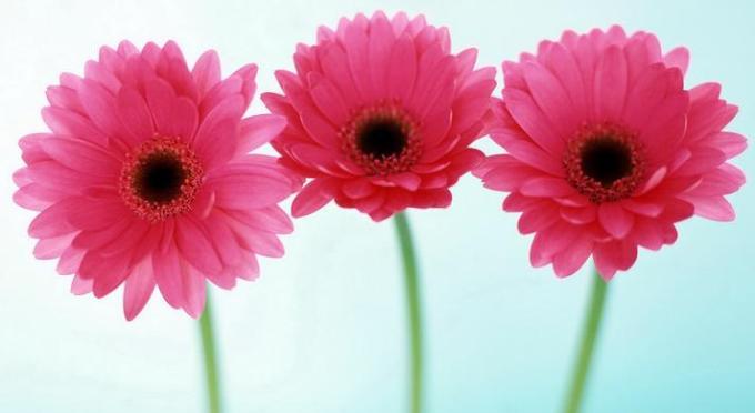 1 Pink Flower Trio