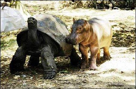 TortoiseHippo