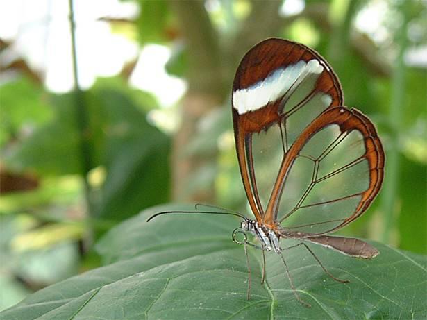 TransparentButterfly2
