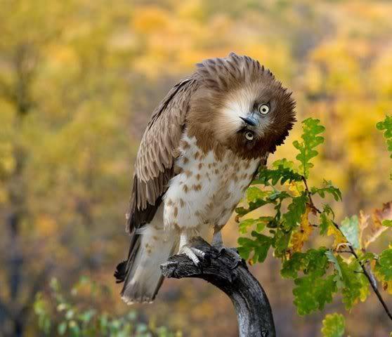 Ulto owl