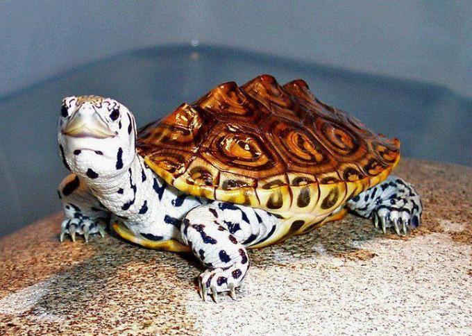 White Tortoise