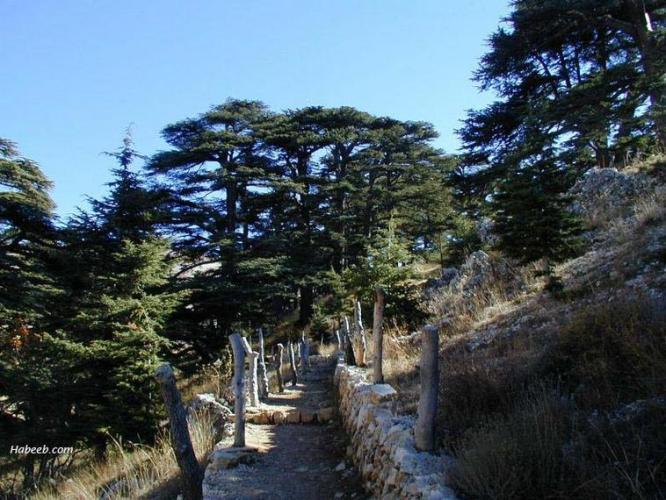 31l Cedars of Lebanon