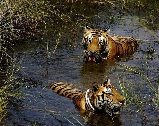 32a Manipur Tiger