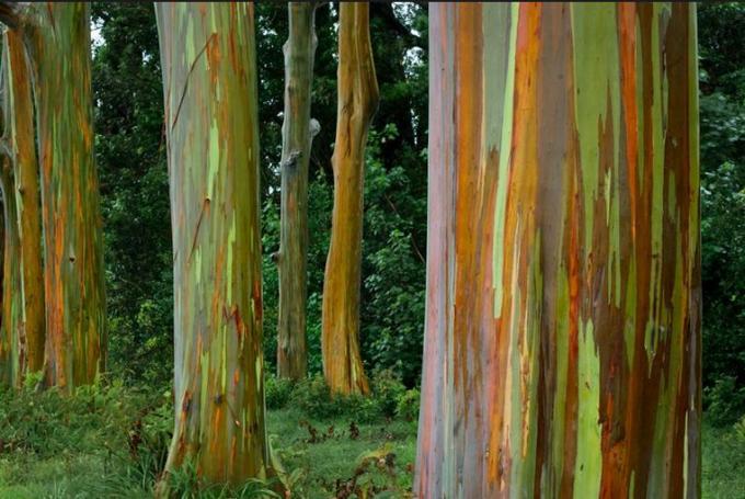 77a Rainbow Eucalyptus tree Hawaii