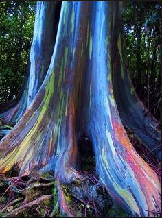 78a Rainbow Eucalyptus tree Hawaii