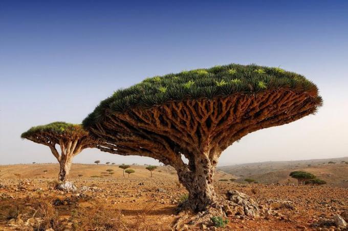 81a Umbrella tree