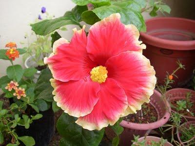 za-Hibiscus29