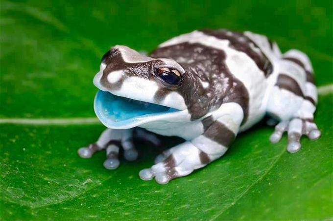 Baby milk frog