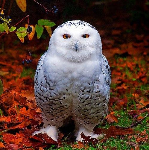 Owl-butfull-white