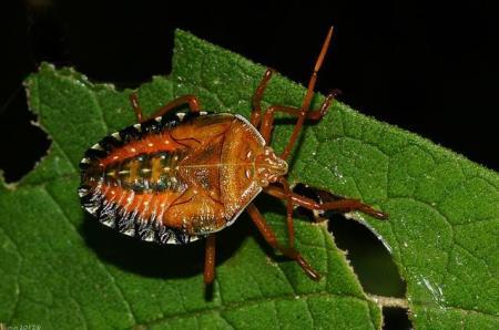 3 Percevejo hemiptera insect bug