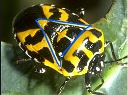 5 Blue Triangle yellow black bug hemiptera