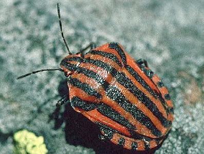 5 Hemiptera Zebra like bands