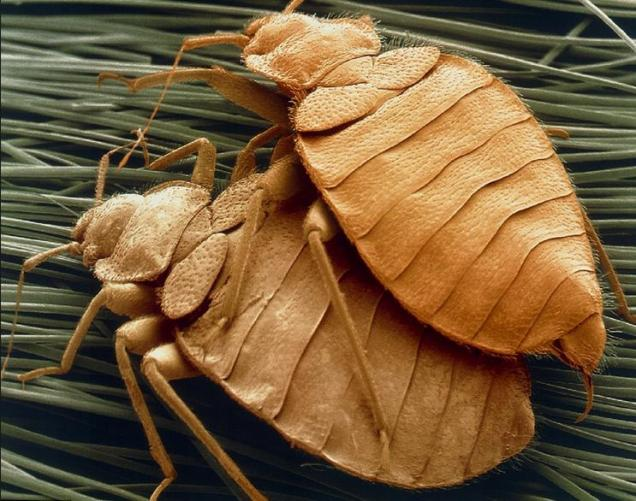 17 Brown insects in your skin and bed