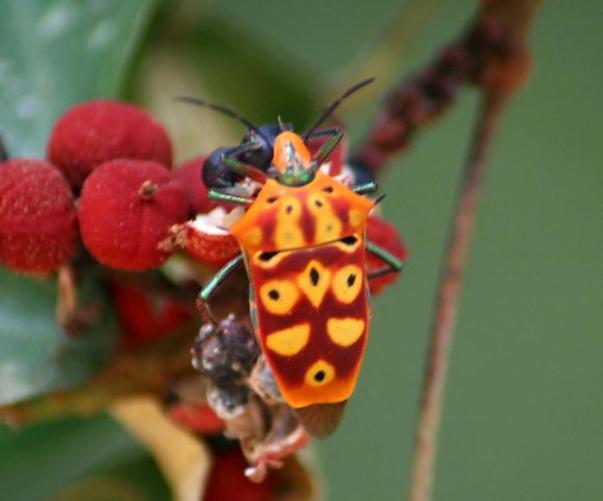 31 yellow orange red hemiptera