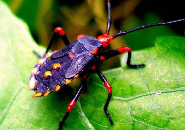 8 Violet red orange bug