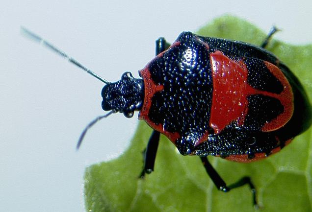 9 Black red hemiptera