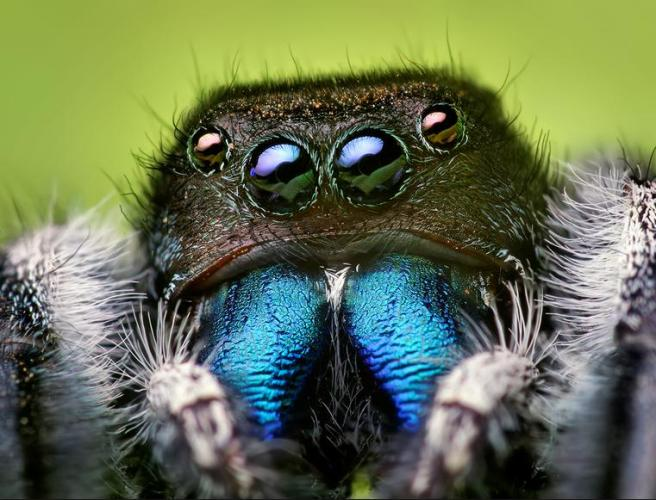 3 Beautiful blue neck spider