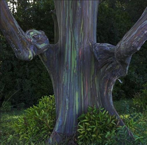 75a Rainbow Eucalyptus tree Hawaii