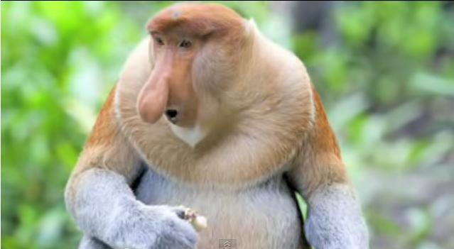 z-Proboscis-Monkey