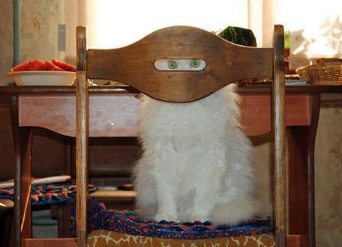1 cat looking at you through chair