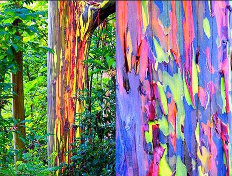 76a Rainbow Eucalyptus tree Hawaii