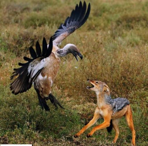 Fight between Bird and Jackle