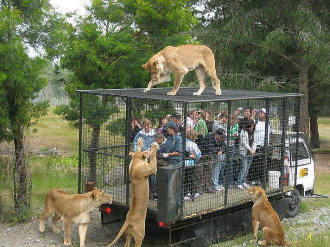 Lion outside cage
