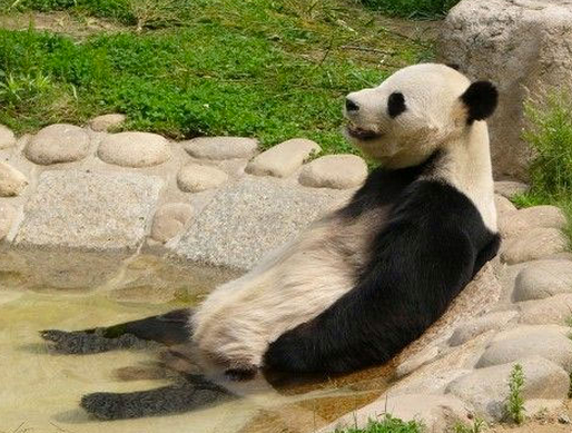 Panda relaxing in pool