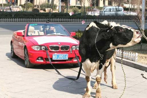 Red car Bullockcart