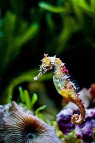 z-common sea horse