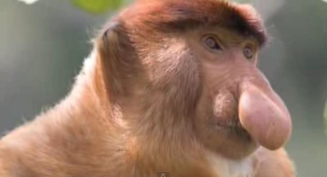 z-Proboscis-Monkey-2