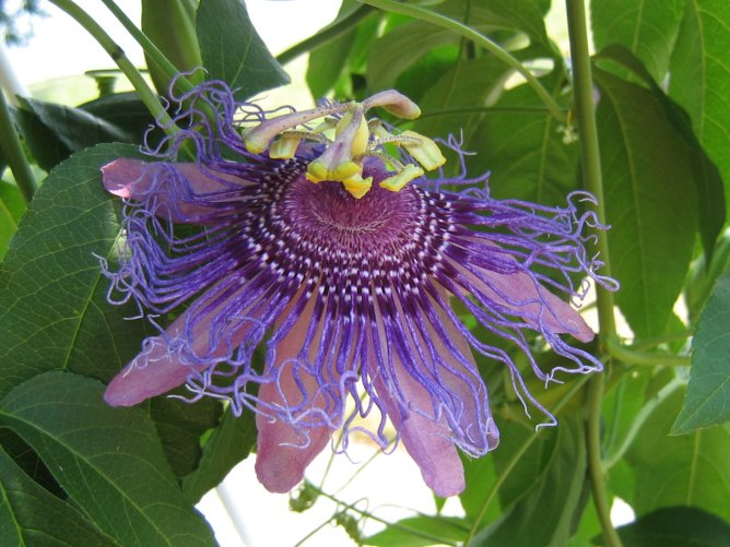 za-passion-flower-purple