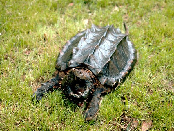 Alligator Snapping Turtle-1