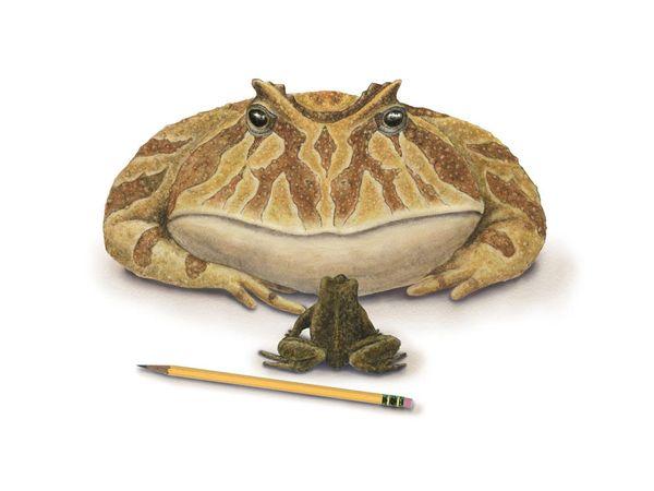 Devil Frog-1