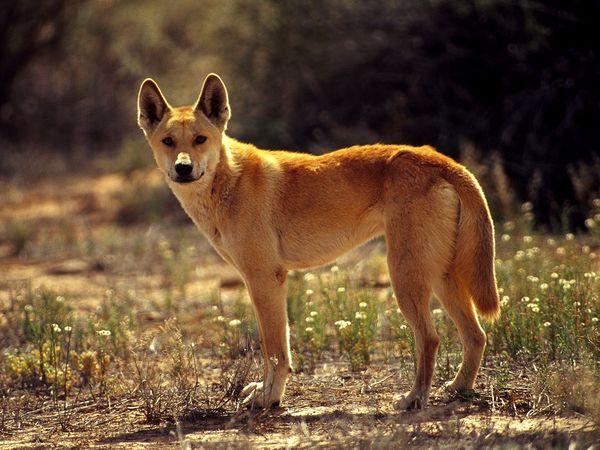 Dingo-1