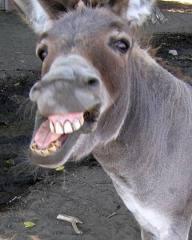 Donkey mukh vengche