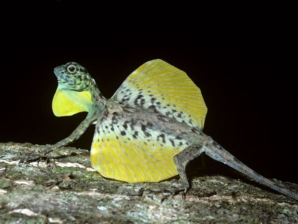 Draco Lizard-1