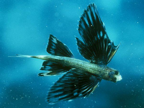Flying Fish-1