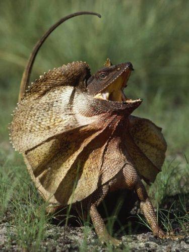 Frilled Lizard-1
