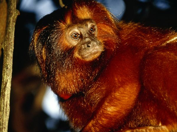 Golden Lion Tamarin-1