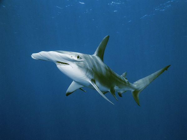 Hammerhead Shark-1