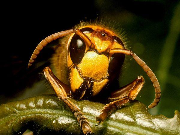 Hornet-1