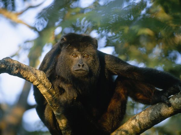 Howler Monkey-1
