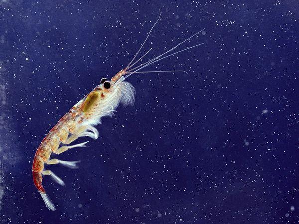 Krill-1