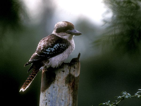 Laughing Kookaburra-1