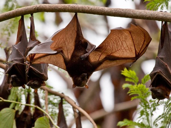 Little Red Flying Fox-1
