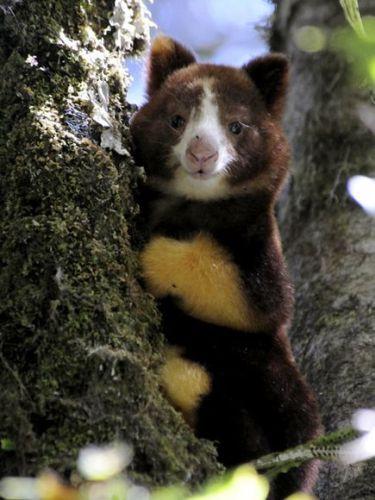Matschie's Tree Kangaroo-1