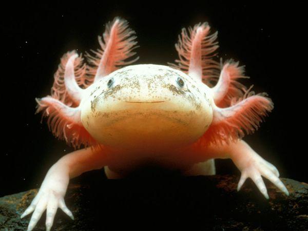 Mexican Axolotl-1