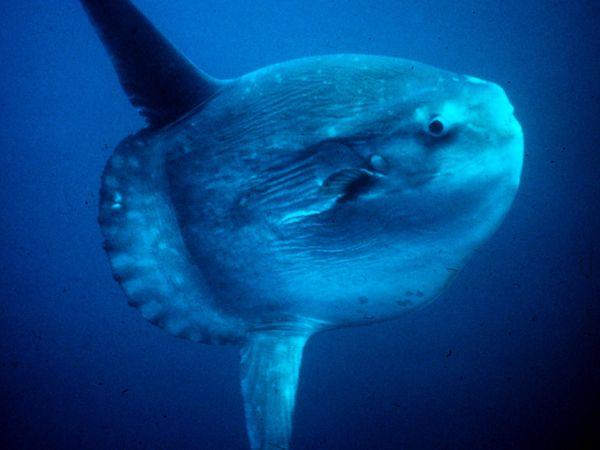 Mola (Sunfish)-1